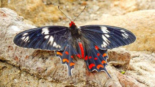 Black white and red butterfly on brown soil